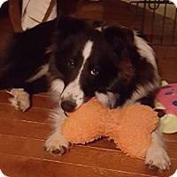 Adopt A Pet :: Wrigley - Mission, KS