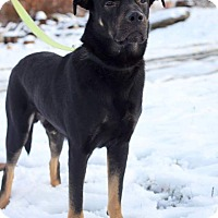 Rottweiler/Shepherd (Unknown Type) Mix Dog for adoption in Rexford, New York - Marshmellow