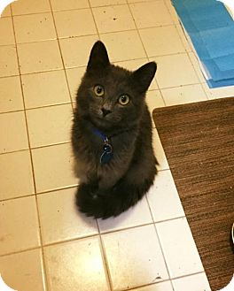 Russian Blue Cat for adoption in Washington, D.C. - Panthro (Has Application)