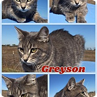 Domestic Shorthair Kitten for adoption in Ravenna, Texas - Greyson