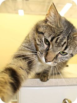 Domestic Shorthair Cat for adoption in West Dundee, Illinois - Berkley