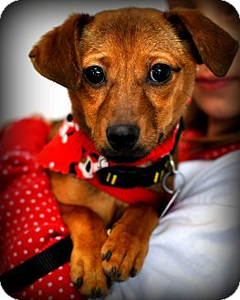 Chihuahua/Dachshund Mix Puppy for adoption in Sparta, New Jersey - Scooter