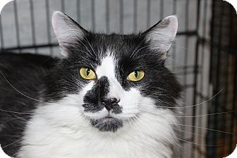 Domestic Longhair Cat for adoption in North Branford, Connecticut - Jigsaw