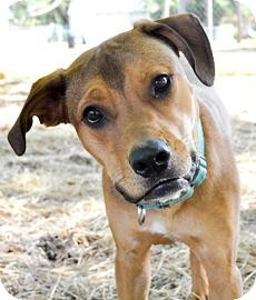 Hound (Unknown Type) Mix Dog for adoption in Bradenton, Florida - Taurus
