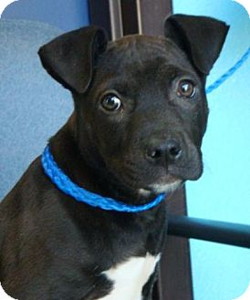 American Pit Bull Terrier Mix Puppy for adoption in Red Bluff, California - Squishy