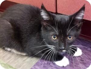 Domestic Mediumhair Kitten for adoption in Calumet City, Illinois - Monroe