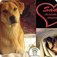 Adopt A Pet :: Sadie - Cheshire, CT