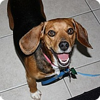 Adopt A Pet :: Drena - Novi, MI