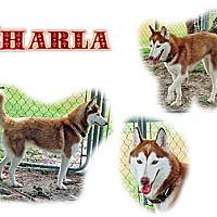 Adopt A Pet :: Charla - Seminole, FL