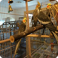 Adopt A Pet :: Flock of 4 Cockatiels - Punta Gorda, FL