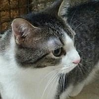 Domestic Shorthair Cat for adoption in Lexington, Kentucky - Francie