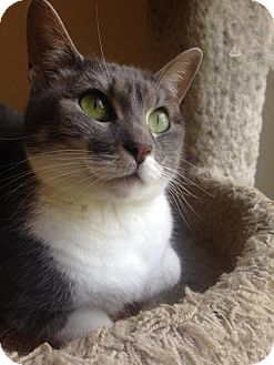 Domestic Shorthair Cat for adoption in Waco, Texas - Marble