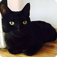 Bombay Cat for adoption in Corona, California - INDIA