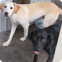 Adopt A Pet :: Blondie - Tahlequah, OK