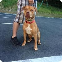Adopt A Pet :: Pooh Bear - Cashiers, NC