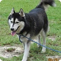 Adopt A Pet :: Duke - Clearwater, FL