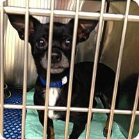 Chihuahua Mix Dog for adoption in Zanesville, Ohio - 47890 Blackie