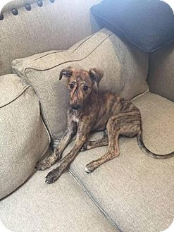 Greyhound Puppy for adoption in Tucson, Arizona - Johnny