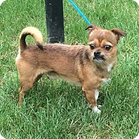 Brussels Griffon Mix Dog for adoption in Barrington, Illinois - Gizmo