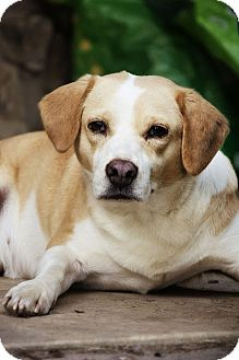 Beagle Mix Dog for adoption in Allentown, Pennsylvania - Shelby