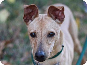 Italian Greyhound/Toy Fox Terrier Mix Dog for adoption in Nanuet, New York - Jeffrey