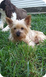 Yorkie, Yorkshire Terrier Dog for adoption in Northeast, Ohio - Charlotte- MILL DOG