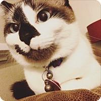 Siamese Cat for adoption in Kalamazoo, Michigan - Aurora - PetSmart