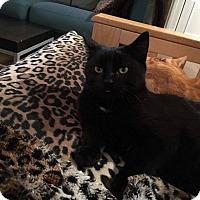 Domestic Shorthair Cat for adoption in THORNHILL, Ontario - Burrito