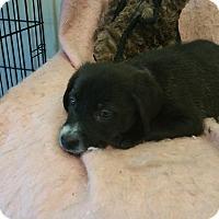 Adopt A Pet :: Dancer - Gainesville, GA