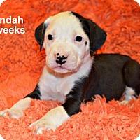 Adopt A Pet :: Cyndah - Yreka, CA