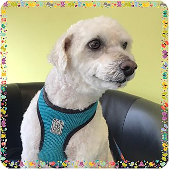 Poodle (Miniature) Mix Dog for adoption in San Marcos, California - Bo
