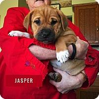 Adopt A Pet :: Jasper - Winchester, VA