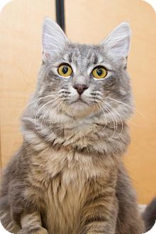 Domestic Mediumhair Cat for adoption in Irvine, California - Mimi