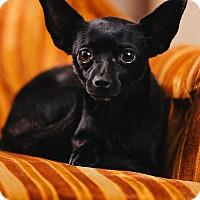 Adopt A Pet :: Cher - Portland, OR