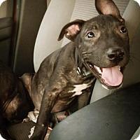 Adopt A Pet :: A345133 Zach - San Antonio, TX