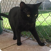 Domestic Shorthair Cat for adoption in Westminster, California - Tulu