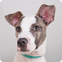 Adopt A Pet :: Billy - Sudbury, MA