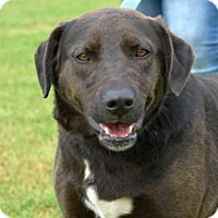 Catahoula Leopard Dog/Labrador Retriever Mix Dog for adoption in Cleveland, Texas - Vito