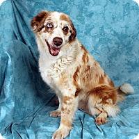 Adopt A Pet :: Sadie Aussie - St. Louis, MO