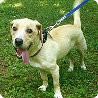 Labrador Retriever/Beagle Mix Dog for adoption in Doylestown, Pennsylvania - Dottie