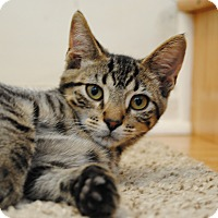 Domestic Shorthair Kitten for adoption in Davison, Michigan - Buster