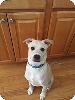 Labrador Retriever/Husky Mix Dog for adoption in Manchester, New Hampshire - Simba