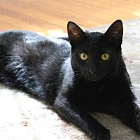Adopt A Pet :: Onyx/loves to play and purr - Bryn Mawr, PA