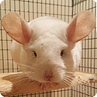 Adopt A Pet :: Angelina - Granby, CT