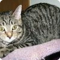 Domestic Shorthair Cat for adoption in Powell, Ohio - Palani