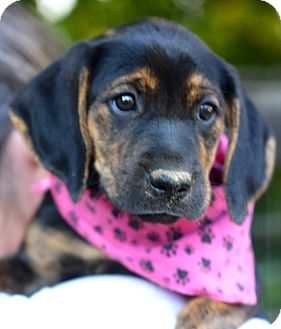 Bloodhound/Black and Tan Coonhound Mix Puppy for adoption in West Grove, Pennsylvania - Lola