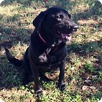 Labrador Retriever Mix Dog for adoption in Redmond, Washington - Felicity