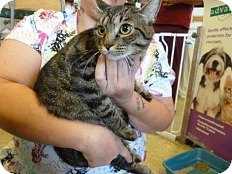 Domestic Shorthair Cat for adoption in Cocoa, Florida - Sharlene (Cocoa Center)