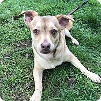 Adopt A Pet :: Frankie - Tumwater, WA
