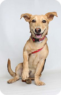 Corgi/Dachshund Mix Dog for adoption in Knoxville, Tennessee - Abby
